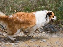 St. Bernard dog. On the shore of the reservoir Stock Photo