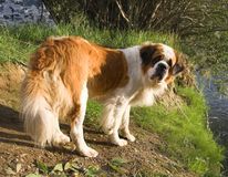St. Bernard dog. On the shore of the reservoir Royalty Free Stock Images