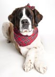 St. Bernard Dog. Portrait of St. Bernard Dog wearing plaid hair bow on whilte background Royalty Free Stock Image