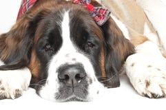 St. Bernard Dog. Portrait of St. Bernard Dog wearing plaid hair bow on whilte background Stock Photography