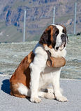 St. Bernard Dog. With keg ready for rescue operation Stock Photo