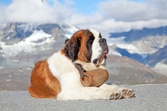 St. Bernard Dog. With keg ready for rescue operation Royalty Free Stock Image