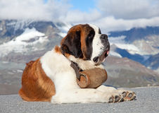 St. Bernard Dog. With keg ready for rescue operation Stock Image