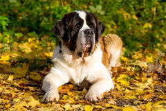 St. Bernard dog. In autumn park Stock Photos