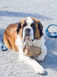 St. Bernard Dog. With keg ready for rescue operation Stock Photography