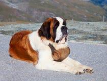 St. Bernard Dog fotografering för bildbyråer