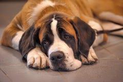 St Bernard Dog arkivbilder