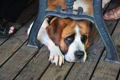 St Bernard Dog Royalty-vrije Stock Afbeeldingen