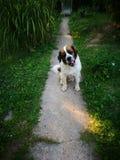 St Bernard Dog Images stock