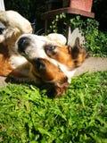 St Bernard Dog Imagen de archivo