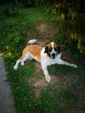 St Bernard Dog Royaltyfria Foton