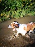 St Bernard Dog Image libre de droits