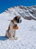 St. Bernard dog. On the snow with keg Royalty Free Stock Photo