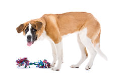 St. Bernard dog. Close up of St. Bernard dog with colorful toy, isolated on white background Stock Photography