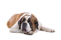 St. Bernard dog. A portrait of a brown and white St. Bernard dog stock images