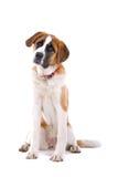 St. Bernard Dog. A portrait of a St. Bernard dog wearing a red collar Royalty Free Stock Photography