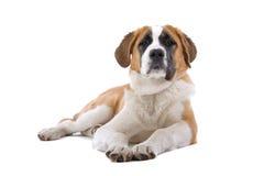 St. Bernard dog. A St. Bernard dog laying down Royalty Free Stock Photos