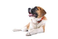 St. Bernard dog. A young St. Bernard dog posed on a white background Stock Photography