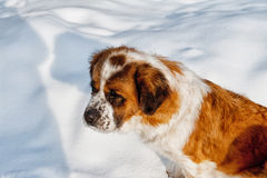 St Bernard dog Stock Photos