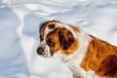 St Bernard dog Stock Photos