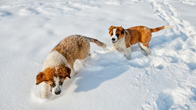 St Bernard dog Stock Photo