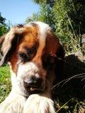 St bernard dog Stock Images