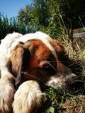 St bernard dog Stock Photo