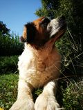 St bernard dog Stock Photography