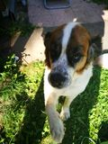 St bernard dog Royalty Free Stock Image