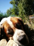 St bernard dog Stock Image