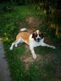St bernard dog Royalty Free Stock Photos