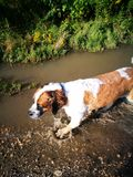St bernard dog Royalty Free Stock Photography