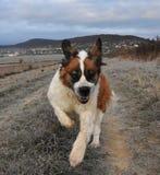 St bernard dog. Happy st bernard dog morning rituals run Stock Image