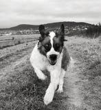 St bernard dog. Happy st bernard dog morning rituals run Stock Photo