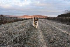 St bernard dog. Happy st bernard dog morning rituals run Royalty Free Stock Photography