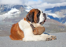 St. Bernard Dog with keg. Ready for rescue operation Stock Photography