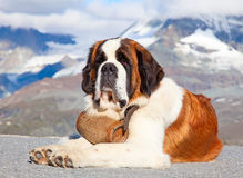 St. Bernard Dog. With keg ready for rescue operation Royalty Free Stock Photography