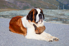 St. Bernard Dog. With keg ready for rescue operation Stock Images