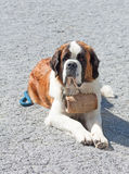 St. Bernard Dog. With keg ready for rescue operation Royalty Free Stock Photos