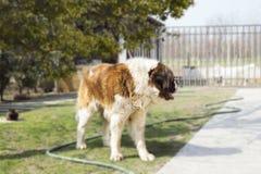 St Bernard Dog On Lawn In l'arrière-cour Image stock