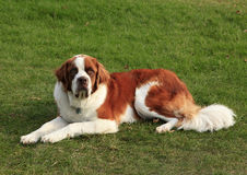 St Bernard Dog Lying in the Grass Royalty Free Stock Photo