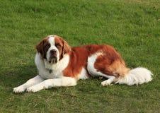 St Bernard Dog Lying in the Grass Royalty Free Stock Photo