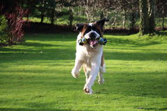 St Bernard Dog Playing With Toy i trädgård arkivbild