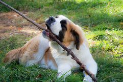 St. Bernard dog plays with a stick royalty free stock images