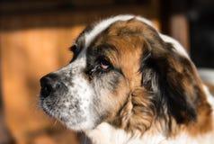 St bernard dog Stock Photography