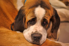 St. Bernard dog Stock Photography