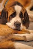 St. Bernard dog Stock Image
