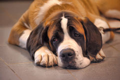 St. Bernard dog. A portrait of a brown and white St. Bernard dog stock photo
