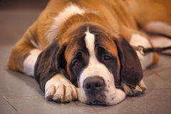 St. Bernard dog. A portrait of a brown and white St. Bernard dog royalty free stock photos