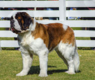 St. Bernard dog. A profile view of a big beautiful brown and white Saint Bernard dog standing on the lawn. St Bernard dogs are well known for their intelligence Royalty Free Stock Photography